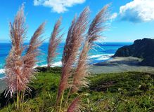 Karekare Beach. Toetoe Grass on the sea cliffs above Karekare black sand beach on New Zealand's west coast stock photography