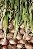 Toewijzing gekweekte organische uien Stock Foto's