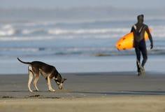 Tofino Brandung-Hund Stockfotografie