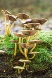 Tofs av champinjoner på en stam arkivfoto