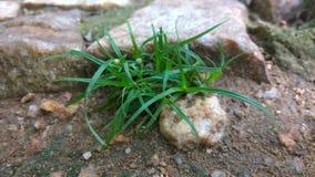 Tofs av gräs Arkivbilder