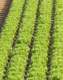 Tofsar av grön sallad som är fullvuxna i fältet Royaltyfria Foton