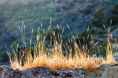 Tofsar av torrt gräs Fotografering för Bildbyråer