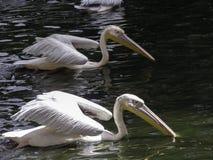 Togather Schwimmen des weißen Pelikans Stockbild