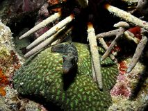 Boxfish on a coral in Indonesia stock photography
