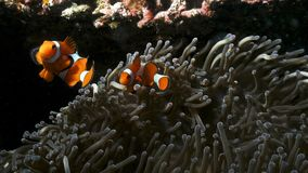 Two little Clown fish defends his anemone royalty free stock photo