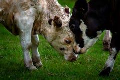 Togerther confinante delle teste del vitello e della madre su erba verde immagine stock