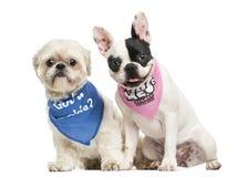 Togeth bandana щенка Shih Tzu и французского бульдога нося сидя Стоковое Фото
