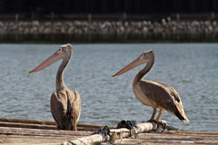 Together. Two pelicans were looking at something Stock Image