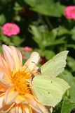 Together. Two brimstone butterlies feeding on a dahlia Royalty Free Stock Images