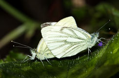 Together as one. White European mating butterflies on a green leave in the garden Stock Images