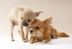 We are together, couple of chihuahua puppies Stock Image