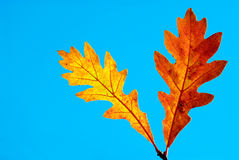 Together in the fall. Orange and yellow oak leaves on clear blue sky. Clipping path included Royalty Free Stock Photos