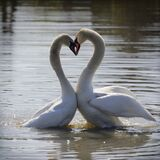 Together forever - the feelings, tenderness and love of a pair of swans.