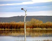Bald Eagles Landscape stock image