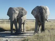 Two Etosha elephants showing strength Stock Photography