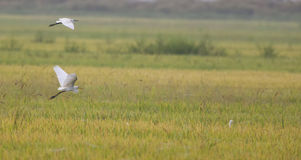 Together are good friends and travel partner. Two little egret flying across a padi field Royalty Free Stock Photography