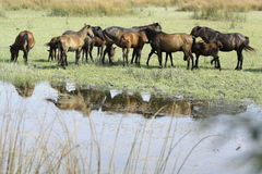 Together. Horses run free through the Danube Delta. Sometimes they form huge packs and they ride together Stock Images