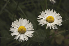 Together & x27;till the end. Close-up photo of two chamomile flowers with dark blurry background stock image