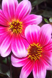 Together. Two Dannevirke dahlias with intertwined petals Royalty Free Stock Photos