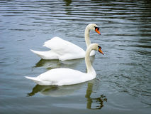 Together. Two white mated swans swimig together on a pond Stock Photos