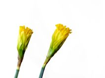 Togetherness. Two daffodils, almost closed, white background royalty free stock photo