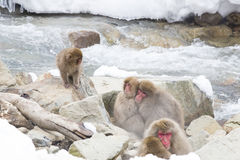 Togetherness: Snow Monkeys Snuggle. Wild red-face, fuzzy snow monkeys snuggle together for warmth on some rocks by a rushing stream in wintertime, while a baby Stock Image