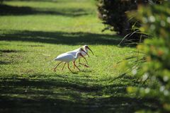 Three ibises in a row to get to the other side stock images