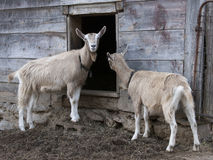 Toggenburg Goats. A pair of Toggenburg goats in front of an entrance to a barn in the Hudson Valley Royalty Free Stock Photos