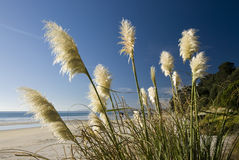 Toi toi plant, Beach, New Zealand. Stock Photos