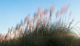 Toi Toi Plants. New Zealand native plant know as Toi Toi, but real name is Austroderia splendens Royalty Free Stock Images
