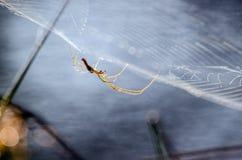 Toile d'araignée, araignée de cave de Longbodied photographie stock libre de droits