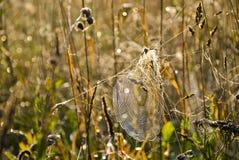 Toile d'araignée couverte de rosée en herbe d'extrémité d'été Photos stock