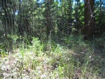 Toile d'araignée entre les arbres au bord de forêt Photographie stock