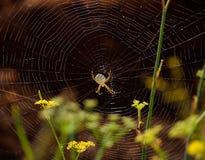 Toile d'araignée magnifique, lobata d'Argiope photos libres de droits