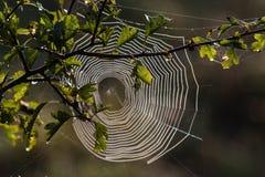 Toile d'araignée sur l'aubépine Photographie stock libre de droits