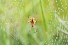 Toile d'araignée sur la feuille photos libres de droits