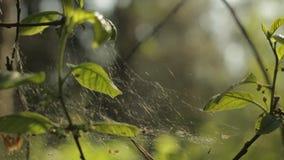 Toile d'araignée sur une branche sèche sur un fond vert banque de vidéos