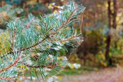 Toile d'araign?e sur des aiguilles de pin, branche impeccable en Web image libre de droits