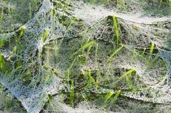 Toile d'araignée humide sur l'herbe Photographie stock libre de droits