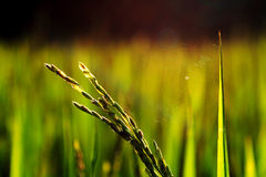Toile de centrale et d'araignée de riz image libre de droits