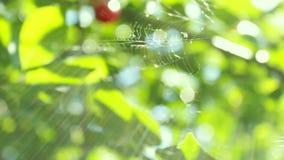 Toiles d'araignée à peine apparentes d'éclat et d'oscillation du soleil Belles baies rouges de cerise et feuilles vertes Bokeh de banque de vidéos
