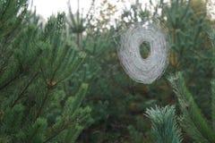 Toiles d'araignée dans les pins Image libre de droits