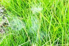 Toiles d'araignée sur des feuilles d'herbe photo stock