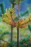 Toiles d'araignée sur le pin Photo libre de droits