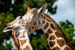 Toilettage adulte de girafes Photo stock