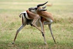 Toilettage d'antilope de springbok Images stock
