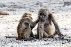 Toilettage de babouin de Chacma Photos libres de droits