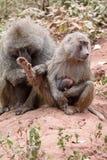 Toilettage de babouins Photos stock