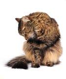 toilettage de chat images libres de droits